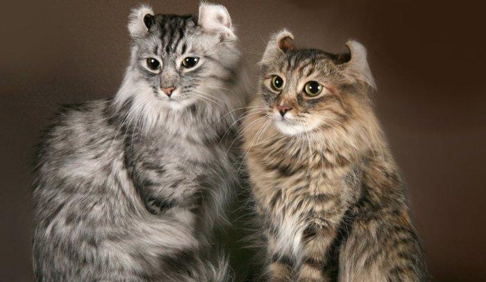 Порода кошек американский кёрл