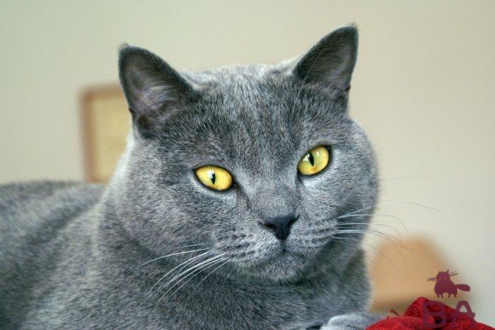 Средняя продолжительность жизни кошки шартрез – 15 лет