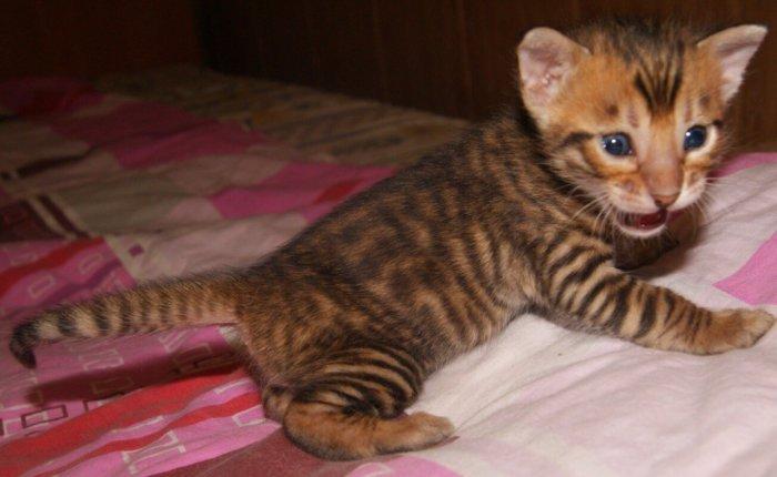 Котёнок тойгер с детства похож на тигра