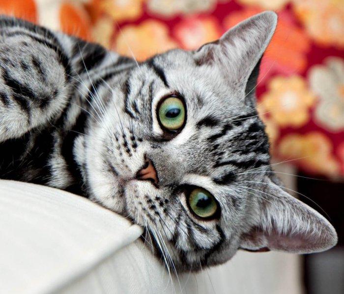 Красивые глаза американской короткошерстной кошки