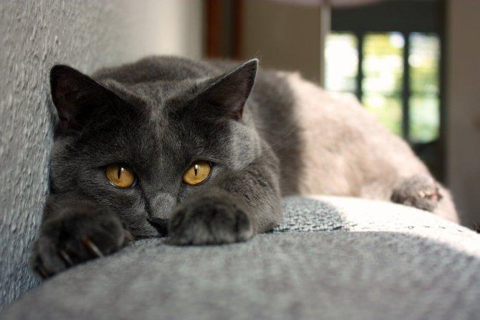 Картезианская кошка не требует сложного ухода