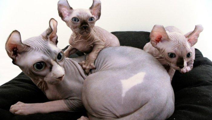 Кошка эльф с котятами