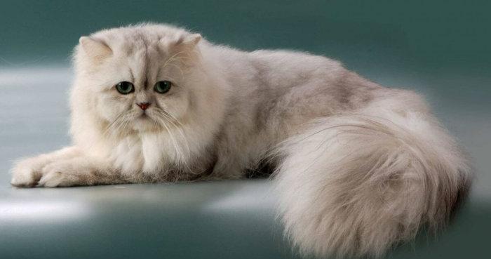 Красивая персидская кошка