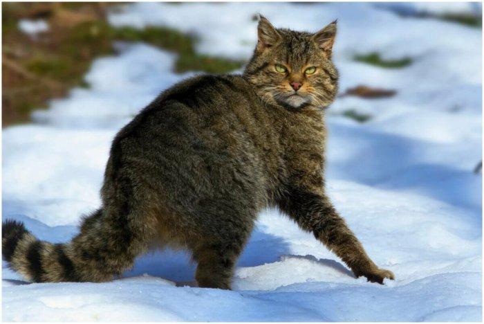 Европейский дикий лесной кот – предок американской короткошерстной