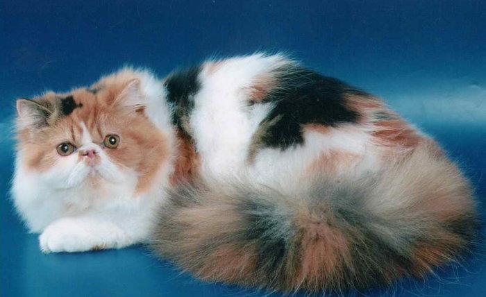 Трёхцветная кошка персидской породы