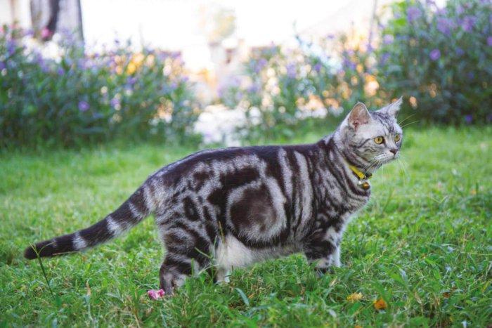Американские короткошерстные кошки – прекрасные охотники