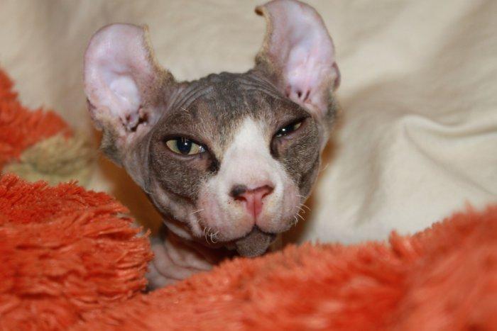 Лысые кошки мёрзнут