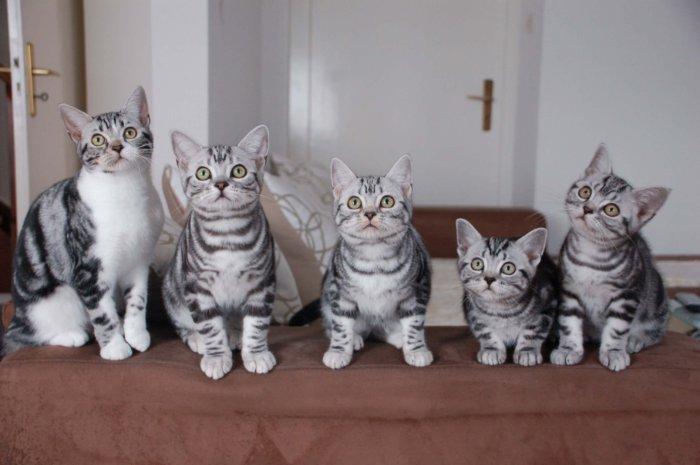Котята американской короткошерстной породы