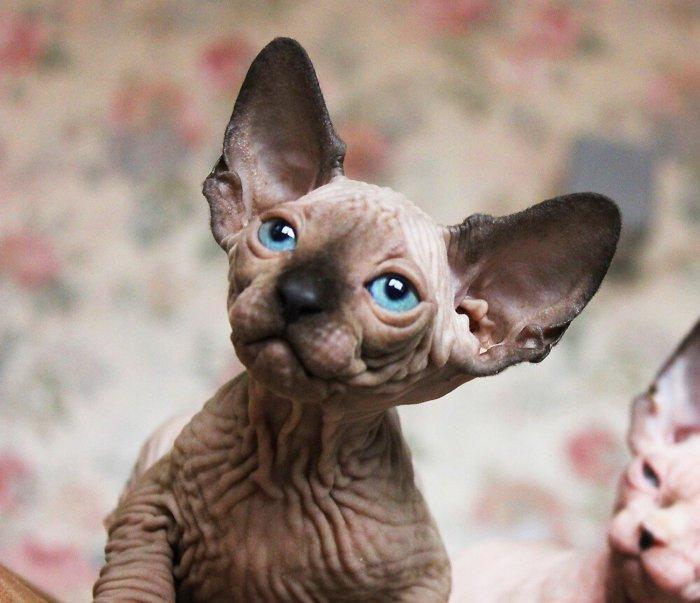 Порода кошек канадский сфинкс
