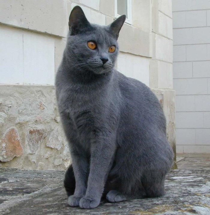 Картезианская кошка – ловкий мышелов