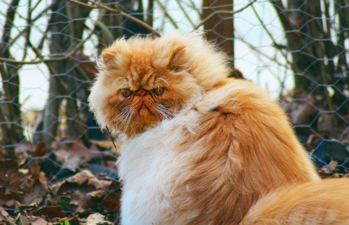 Персидский кот на прогулке
