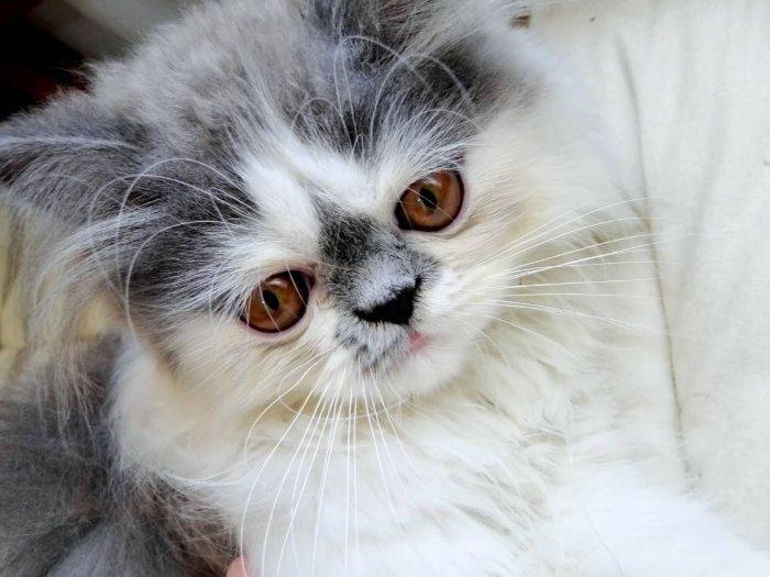 Котёнок перс
