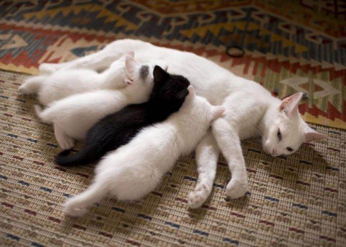 Мастит часто бывает у кормящих кошек