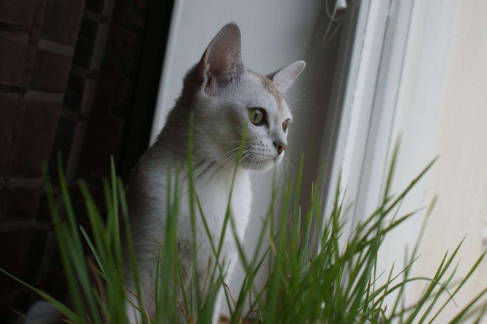Бурмилла – умная, нежная и преданная кошка