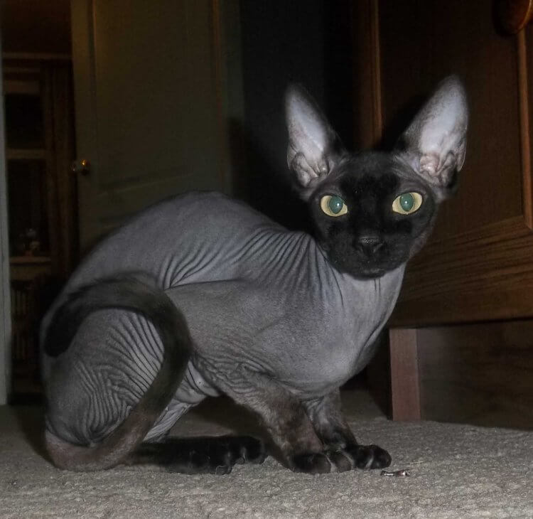 сфинкс черный кошка картинки летнего