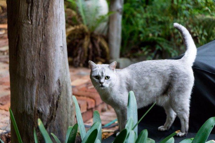 Кошка породы бурмилла на выгуле