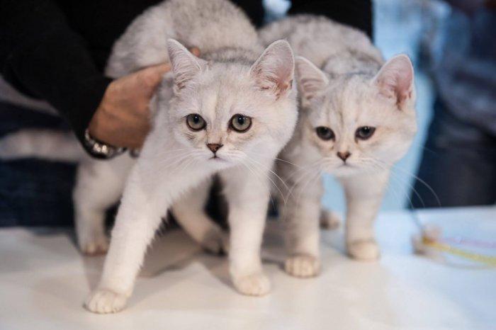 Котят кормят 3–4 раза в день, взрослую бурмиллу – утром и вечером