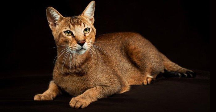 Кошка чаузи – гибрид камышового кота и домашней кошки