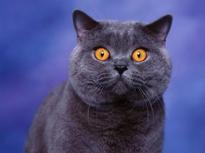 Первые британские кошки имели только один окрас – голубой