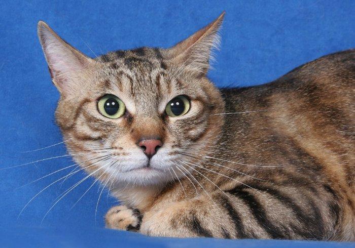 Сококе – независимая, но любвеобильная кошка
