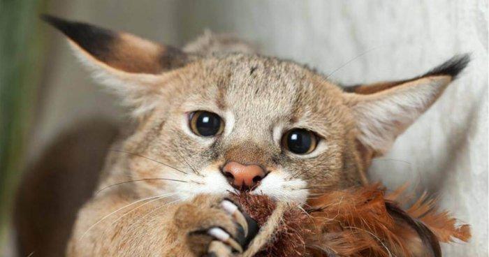 Котёнок чаузи играет