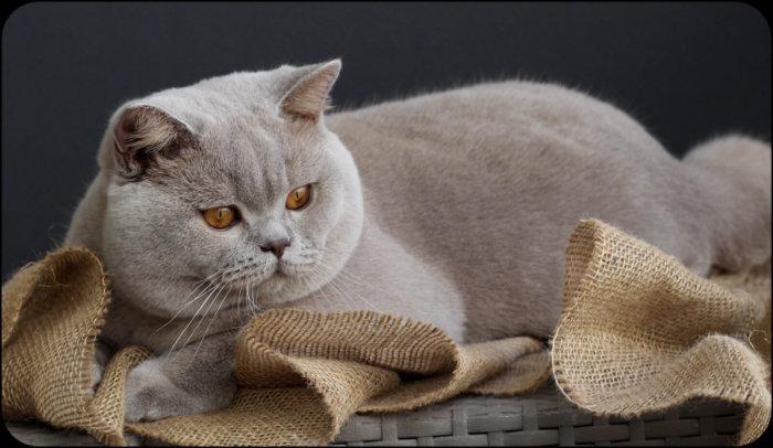Британский короткошерстный кот лилового окраса