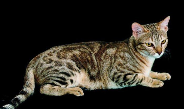 Кенийская лесная кошка