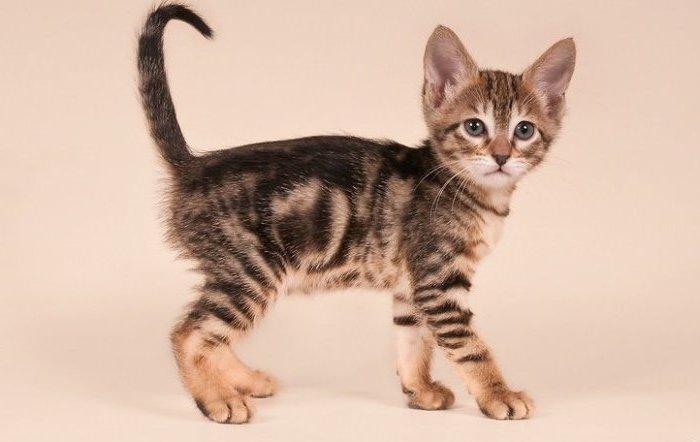 Котёнок кенийской кошки сококе