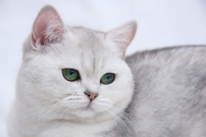 Порода кошек британская короткошерстная