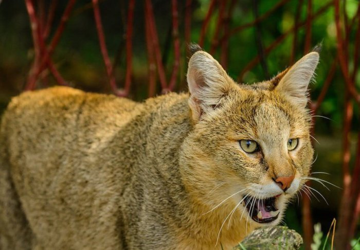 Африканский камышовый кот