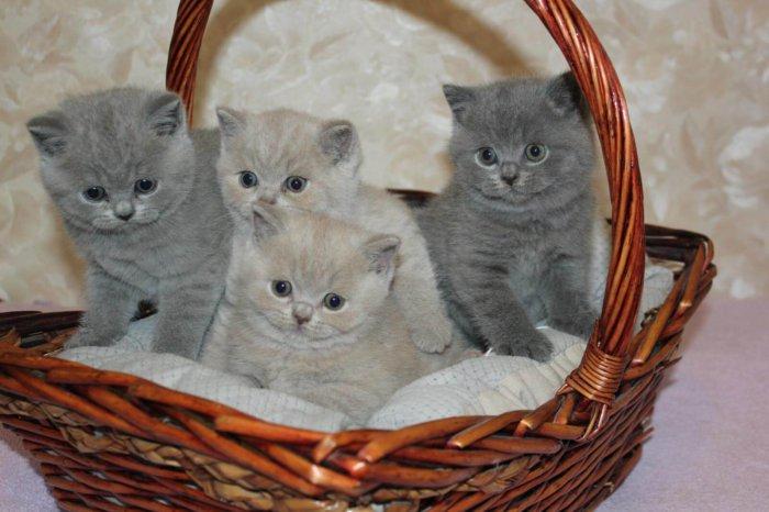 Британские короткошерстные котята голубого и лилового окраса