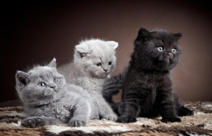 Котят передают новому владельцу после 3-х месяцев