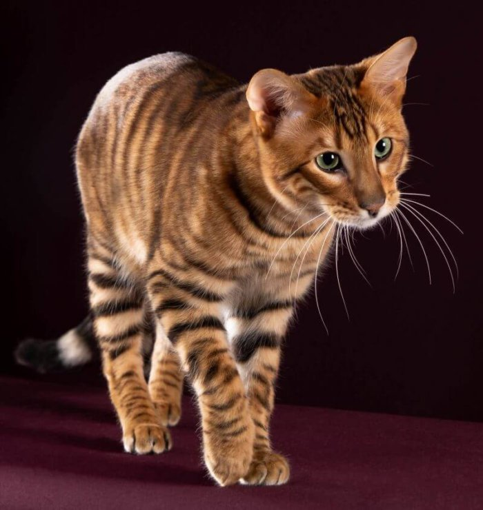 У кошки тойгер тигровый окрас