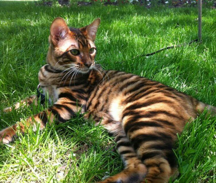 Кошкам тойгер нравится гулять на улице