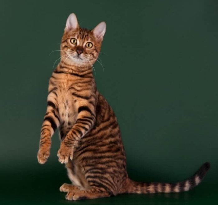 Кошка тойгер – ручной тигр