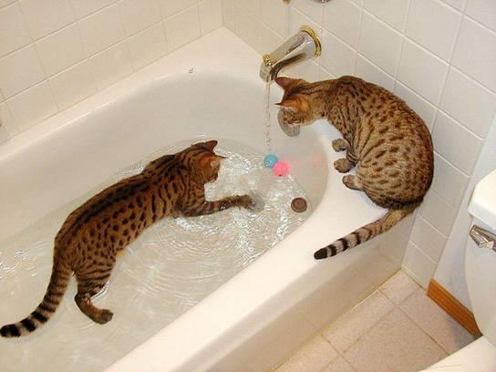 Черты характера у бенгальской породы кошек