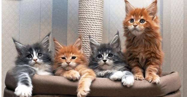 Как выбрать котенка Мейн-куна