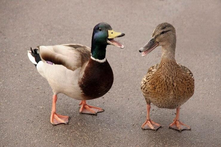 Можно ли кормить уток на пруду, в парке и на водоемах?
