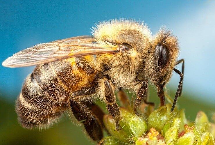 От чего зависит продолжительность жизни пчел