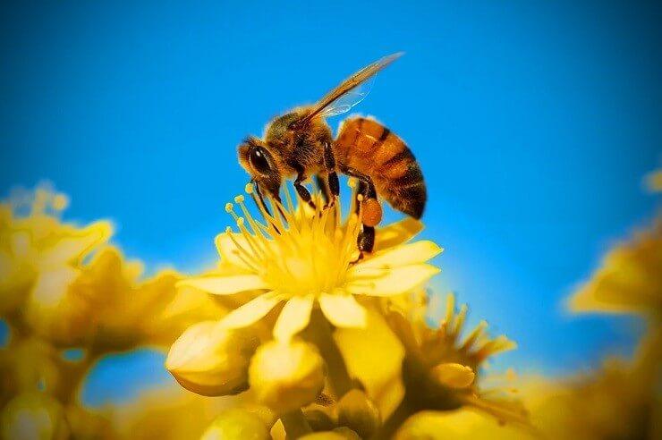 Сколько живет пчела в природе