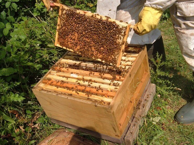 Сколько живут пчелы в улье