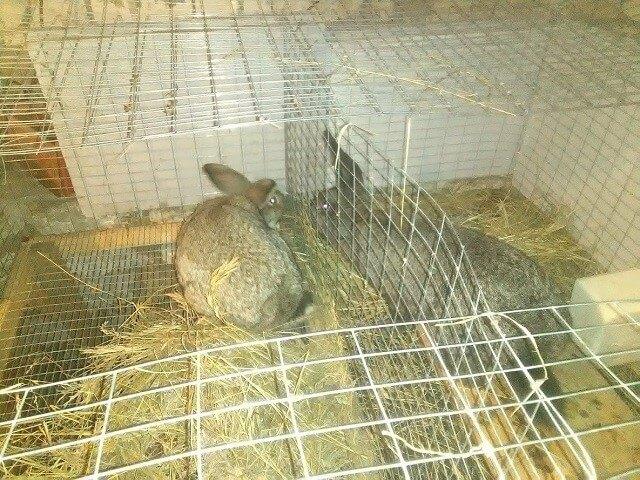 Случка кроликов в клетке