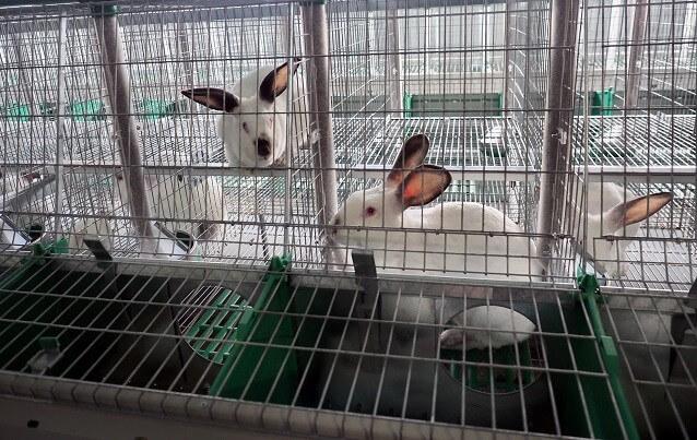 Советы по разведению кролика клеточным способом