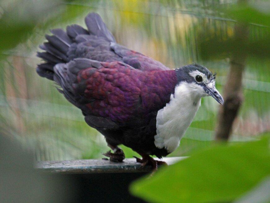 Белогрудый дикий голубьё