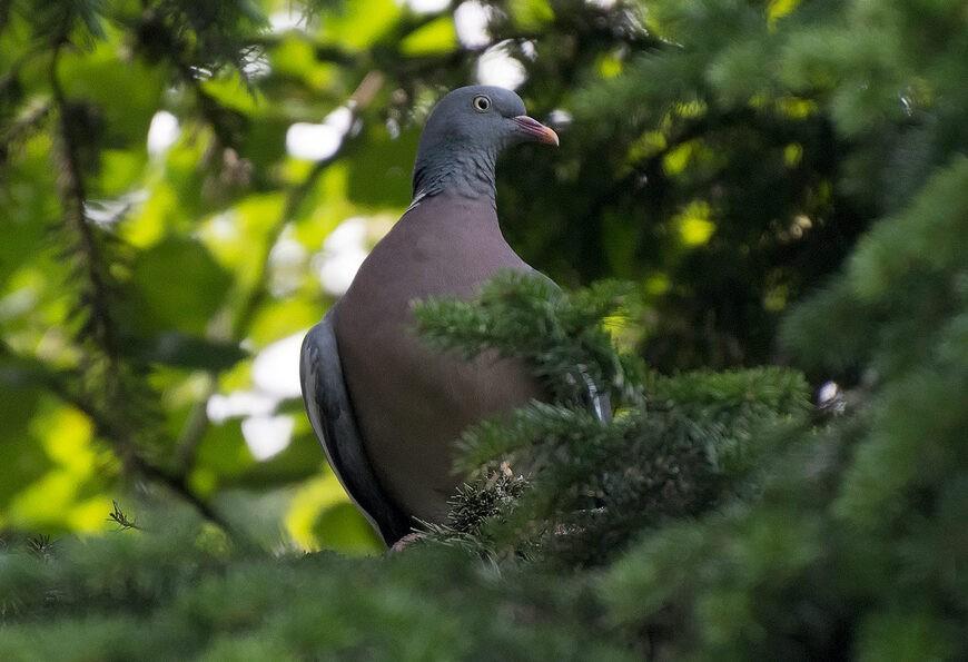 Лесной голубь вяхирь
