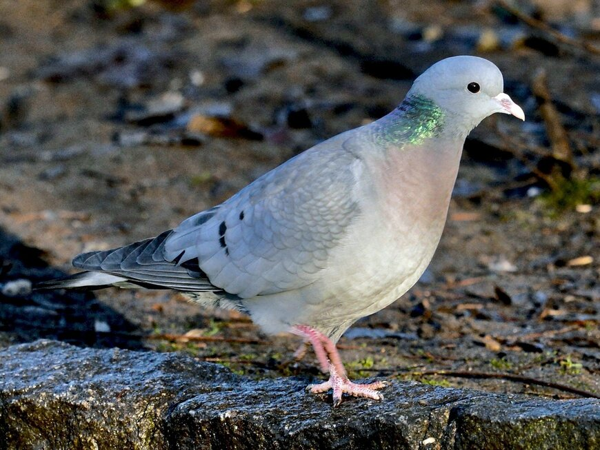 Лесной голубь Клинтух