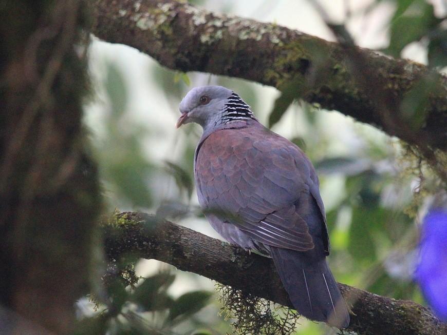 Нильгирийский лесной голубь