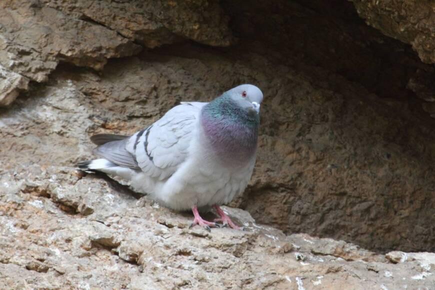 Дикий скалистый голубь