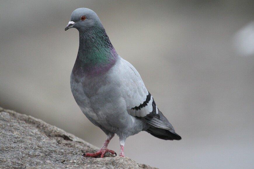 Серый дикий голубь