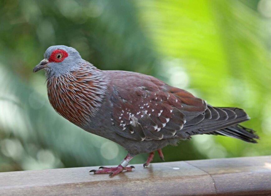 Крапчатый лесной голубь